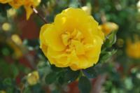 mg heritage persian yellow