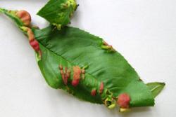 peach-leaf-curl